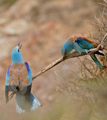 Kraska- tych ptaszków jest ...