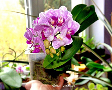 The strap, orchid or phalen...