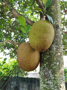 Największy owoc z drzewa - ...