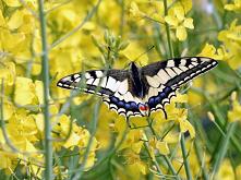 Paź królowej, (Papilio mach...