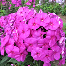 Phlox paniculata Flame Purple