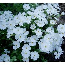 Phlox douglasii White Delight