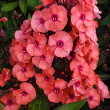 Phlox paniculata Orange Elite