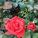 Uwielbiam róże *.*