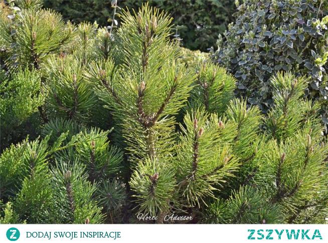 Kosodrzewina - Pinus mugo L.
