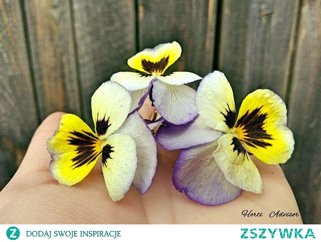 Look at these beautiful pansies (Viola × wittrockiana Gams). I don't think I know more graceful flowers that cover the spring with colorful and numerous flowers