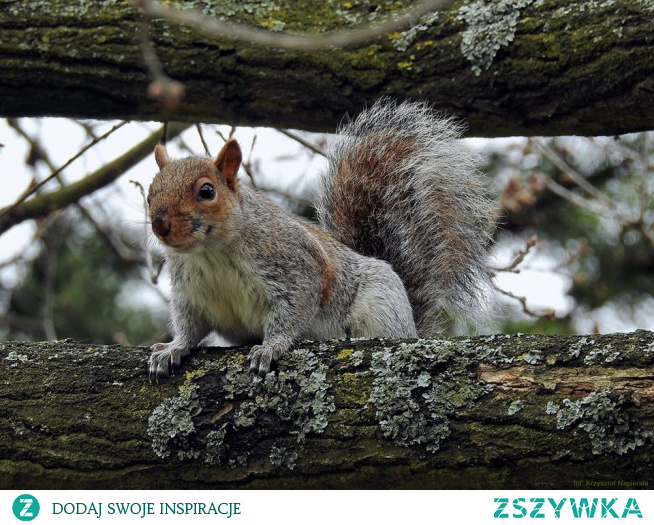 Wiewiórka szara, (Sciurus carolinensis)