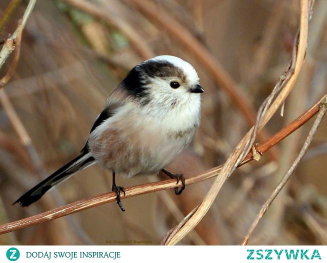 Raniuszek czarnobrewy, (Aegithalos caudatus europaeus)