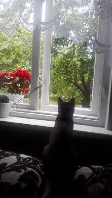 Obserwacje - czereśnie - sz...