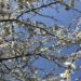 Kwiaty jabłoni ♥️