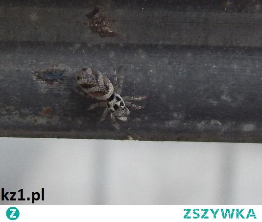 Mały szybki pająk - jak się on nazywa?