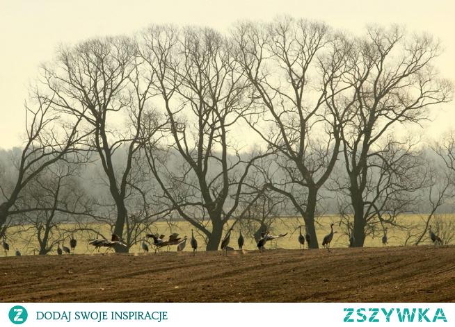 żurawie na Podlasiu