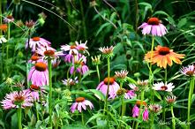 Echinacea purpurea. Jeśli s...