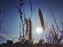 #zboże#zachód słońca#