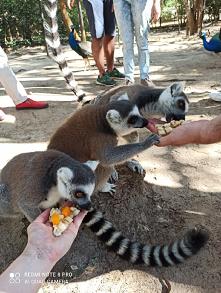 #lemur #lunchtime lemury ko...