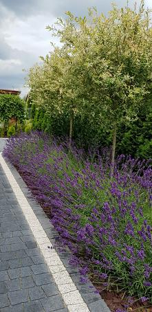 #ogród  #lawenda