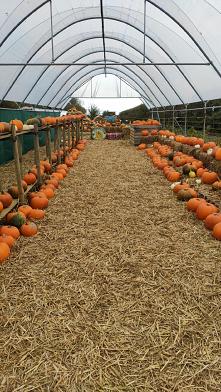 #pumpkin pauch #Walia