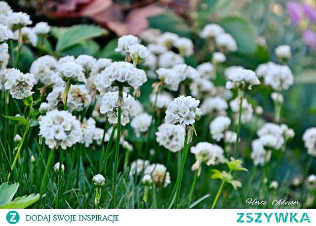 Hi everyone❗   How is your Friday❓ I am crazy about rockery plants and you❓  ✔️ Armeria maritima L. 'Alba' is another of my favourite garden plants ⬇️  ➡️And you❓What you think❓ Let me know in comments⬇️