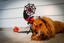 #halloween #doggo #dog  ig @rogerandrussell