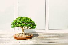 Jak i gdzie kupić odpowiednie drzewko Bonsai?  Szukasz ogrodniczego hobby, ale nie masz ogrodu? Zastanów się nad Bonsai!  Bonsai – co to? Bonsai to pochodząca z Azji forma sztuk...