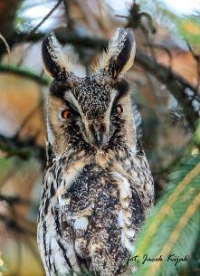 Uszatka, sowa uszata, (Asio otus) – gatunek ptaka drapieżnego z rodziny puszczykowatych (Strigidae).
