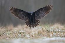 Kruk (Corvus corax) Common Raven Siemień, Poland