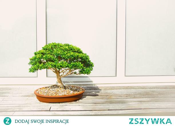 """Jak i gdzie kupić odpowiednie drzewko Bonsai?  Szukasz ogrodniczego hobby, ale nie masz ogrodu? Zastanów się nad Bonsai!  Bonsai – co to? Bonsai to pochodząca z Azji forma sztuki, która łączy techniki ogrodnicze i azjatycką estetykę. Gatunek tego drzewka pochodzi z Chin, ale została zaadaptowana przez Japończyków do tego, co obecnie znamy jako drzewka Bonsai. Słowo to oznacza """"zasadzone w pojemniku"""", a pierwsze miniaturowe krajobrazy powstały ponad 2000 lat temu. Około 700 lat temu Japończycy skopiowali tę formę sztuki i stworzyli charakterystyczny japoński styl. Zamiast chińskich krajobrazów Japończycy zaczęli sadzić pojedyncze drzewa."""