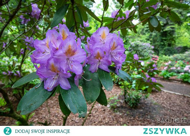 Najbliższy weekend warto wykorzystać by odwiedzić Arboretum Kórnickie, gdzie kwitną azalie i różaneczniki.