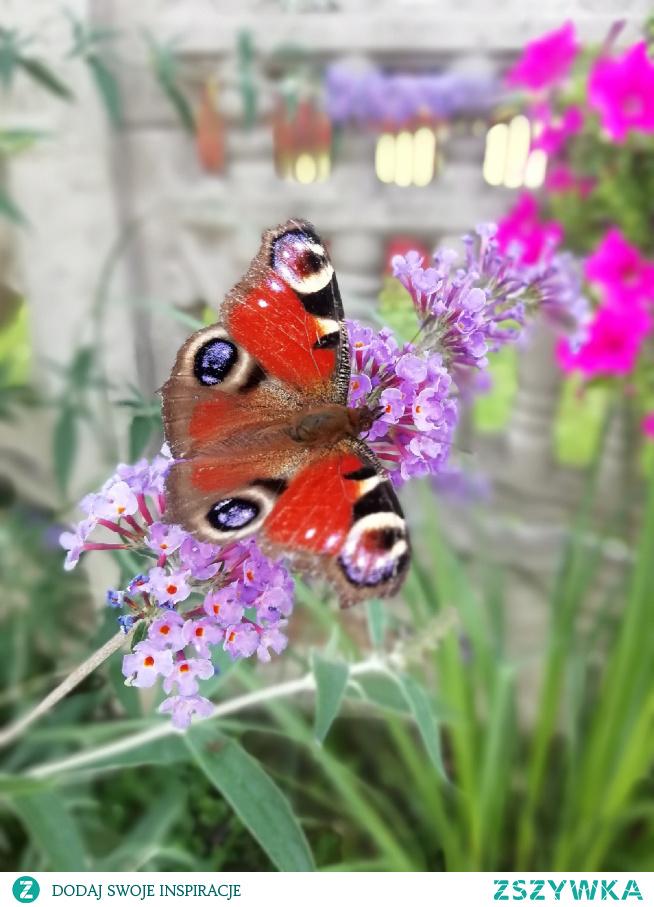 Motyl#królowa#kwiat