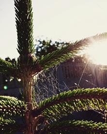 #drzewo#igły#słonce#
