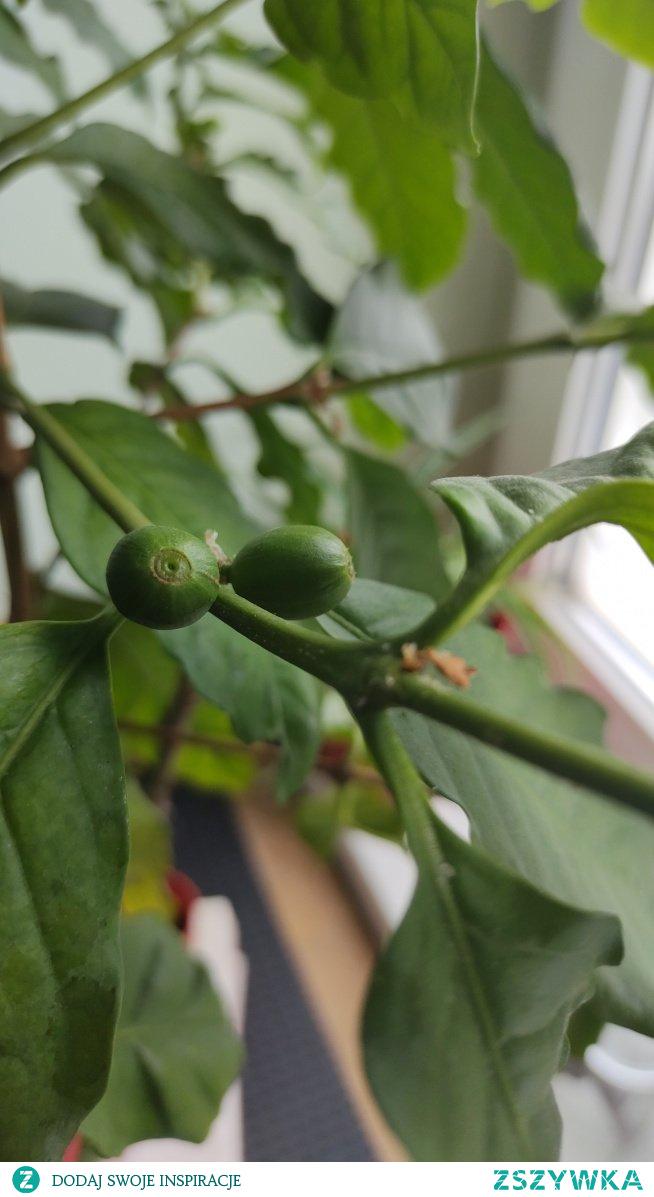 Pierwsze owoce kawy :)