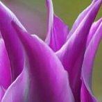 Okładka Tulipanów nigdy dość!
