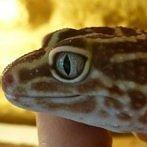 Okładka gekonki