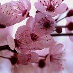 Okładka Kwitnące Wiśnie✿