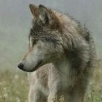 Okładka wilki <3
