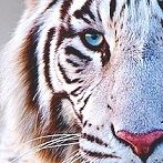 Okładka White Tiger