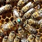 Okładka Pszczoły i ule