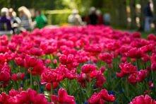 tulipany <3