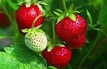 Maseczka z truskawek Bardzo prosta – wystarczy, że rozgnieciesz owoce na miazgę i taką masę nałożysz na twarz i szyję. Doskonale nawilża i odświeża, jednak niewskazana dla alerg...