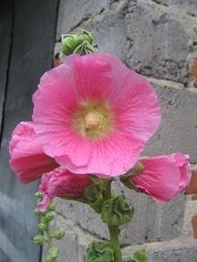 malwa rozowa