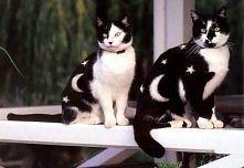 koty w gwiazdkę
