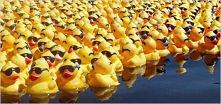 jak dużo kaczek widzicie?