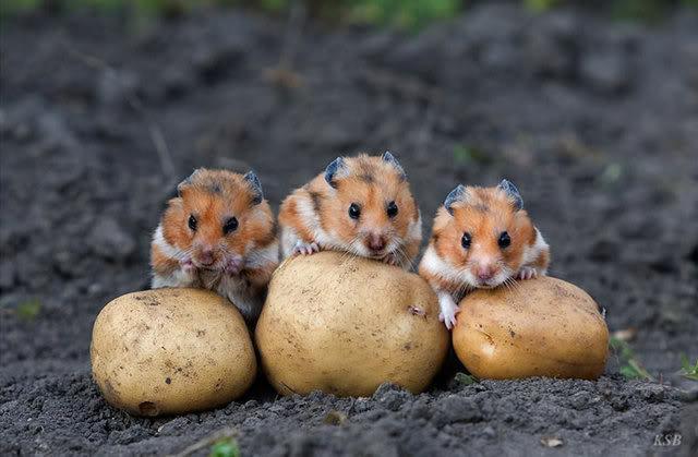 chomiki z żemniakami;)