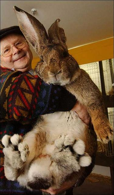 Herman, podobno największy królik na świecie źródło: pinterest