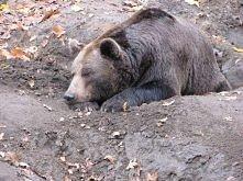 niedźwiadek ;)