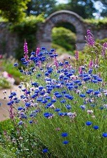 Chabry... kwiaty dzieciństwa.