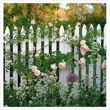 Płotek w angielskich różach...