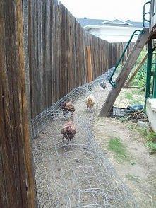 wybieg dla kur