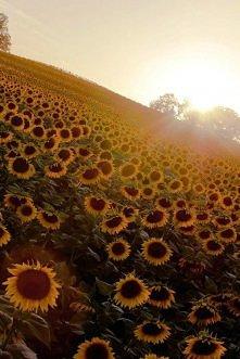 OOO  słoneczniki :) :)