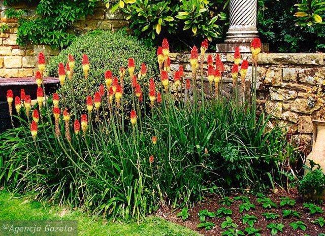 TRYTOMIA OGRODOWA . Roślina ozdobna o efektownych kwiatostanach, tzw. płonących pochodniach, sadzona na rabatach, nad zbiornikami wodnymi, dobra również na kwiat cięty.